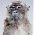Macaco serio